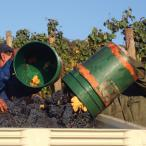Workers dump barrels of grapes into a tote
